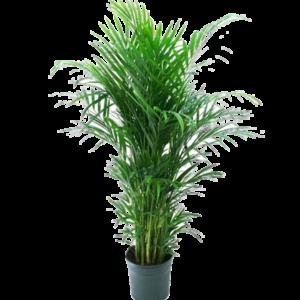 pflanzen - Areca Palme mieten rent-a-lounge
