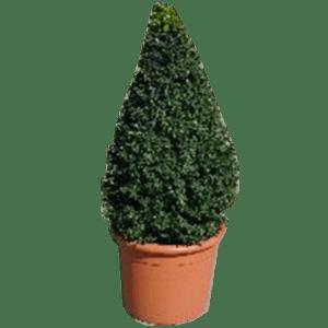 pflanzen - Buchsia-Pyramide mieten rent-a-lounge