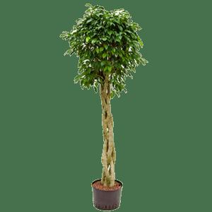 pflanzen - Ficus Benjaminus mieten rent-a-lounge