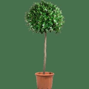 pflanzen - Loorbeer Hochstamm mieten rent-a-lounge